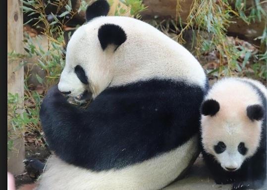 上野動物園パンダの画像です
