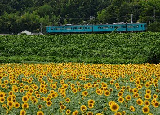 五條市上野(こうずけ)町ひまわり園の画像です