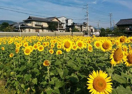 向日市ひまわり畑の画像です