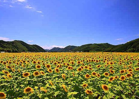 佐用町ひまわり畑の画像です