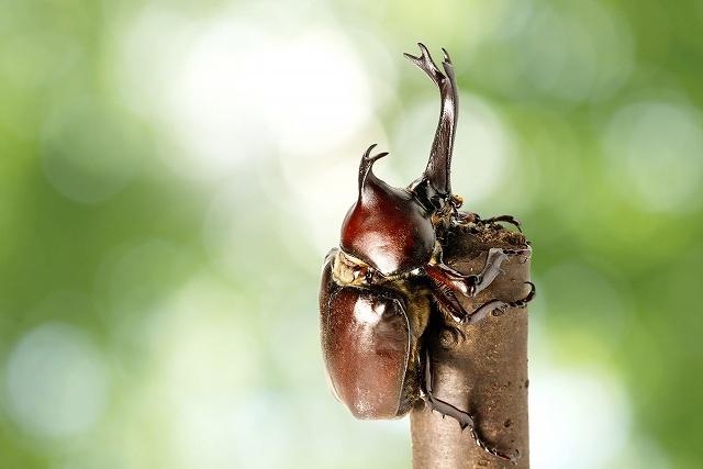 カブトムシの画像です