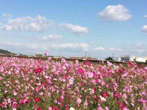 コスモス畑の画像です