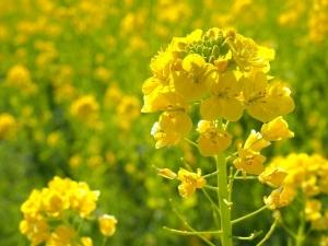 菜の花の画像です