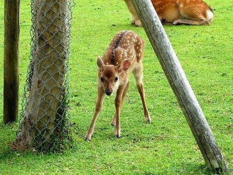 奈良公園・鹿苑の画像です