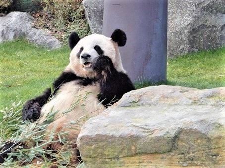 パンダの画像です